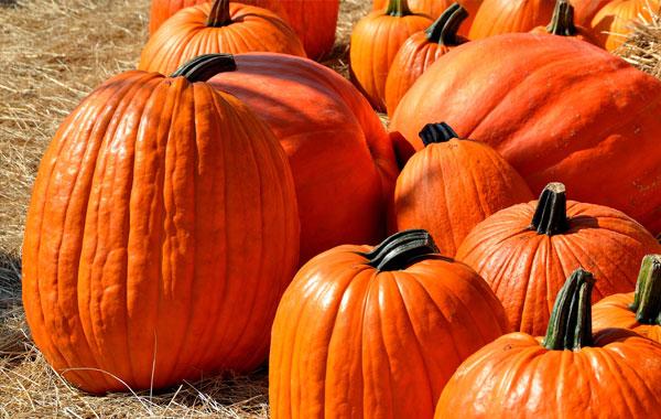 Large pumpkins in field